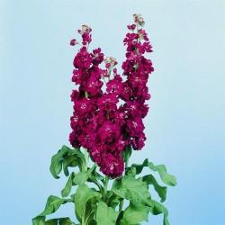 Seminte Matthiola incana Lucinda Purple Violet