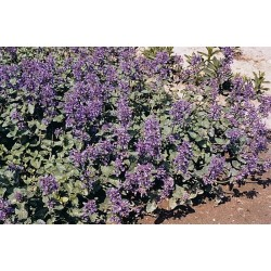 Seminte Nepeta faassenii Light Blue