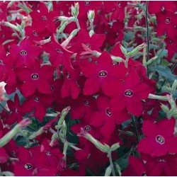 Seminte Nicotiana alata Perfume F1 Red drajerate