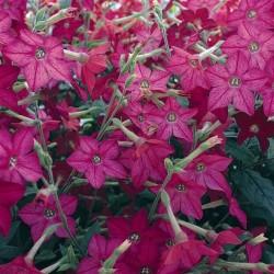 Seminte Nicotiana alata Perfume F1 Bright Rose drajerate