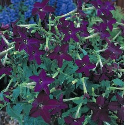 Seminte Nicotiana alata Perfume F1 Deep Purple drajerate