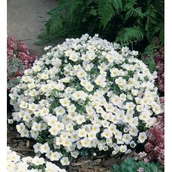 Seminte Nierembergia hippomanica White Robe