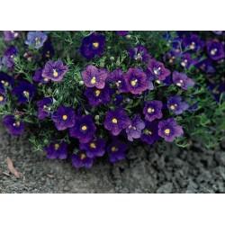 Seminte Nierembergia hippomanica Purple Robe