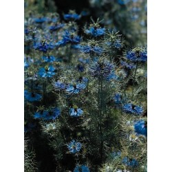 Seminte Nigella damascena Miss Jekyll Deep Blue