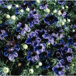 Seminte Nigella hispanica Blue Crown