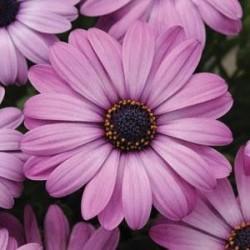 Seminte Osteospermum ecklonis Akila Lavender Shades