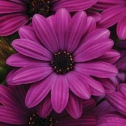 Seminte Osteospermum ecklonis Akila Purple