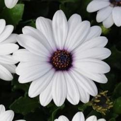 Seminte Osteospermum ecklonis Akila White