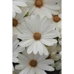 Seminte Osteospermum ecklonis Akila Daisy White