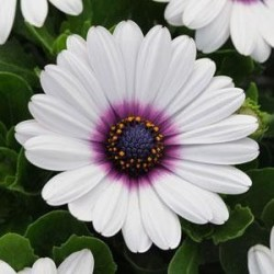 Seminte Osteospermum ecklonis Akila White Purple Eye