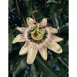 Seminte Passiflora caerulea