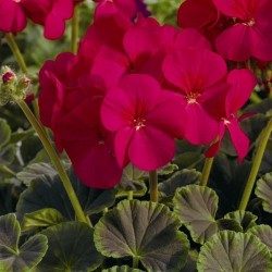 Seminte Pelargonium hortorum Bull's Eye F1 Cherry