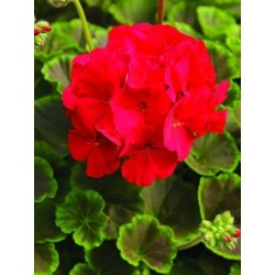 Seminte Pelargonium hortorum Bull's Eye F1 Red