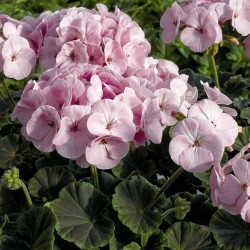 Seminte Pelargonium hortorum Bull's Eye F1 Light Pink