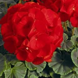 Seminte Pelargonium hortorum Bull's Eye F1 Scarlet