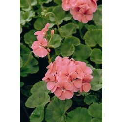 Seminte Pelargonium hortorum Horizon F1 Deep Salmon