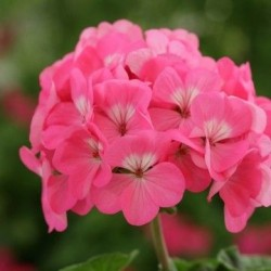 Seminte Pelargonium hortorum Horizon F1 Neon Rose