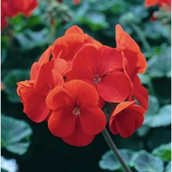Seminte Pelargonium hortorum Horizon F1 Orange