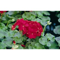 Seminte Pelargonium hortorum Horizon F1 Red