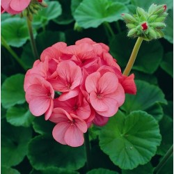 Seminte Pelargonium hortorum Horizon F1 Rose