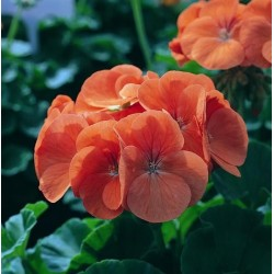 Seminte Pelargonium hortorum Horizon F1 Salmon