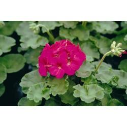 Seminte Pelargonium hortorum Horizon F1 Violet