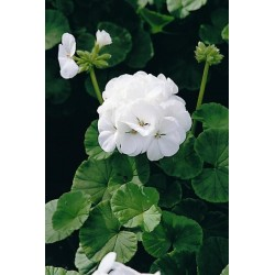 Seminte Pelargonium hortorum Horizon F1 White