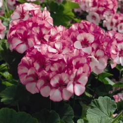 Seminte Pelargonium hortorum Maverick F1 Star