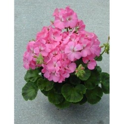 Seminte Pelargonium hortorum Multibloom F1 Pink
