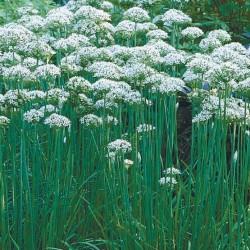 Allium tuberosum pack 10
