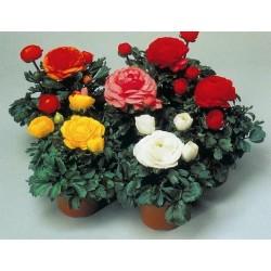Seminte Ranunculus hybrida Bloomingdale F1 mix seminte invelite