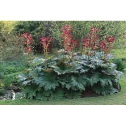 Seminte Rheum palmatum