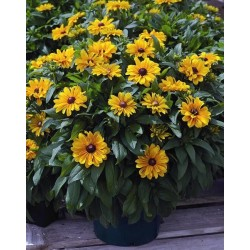 Seminte Rudbeckia hirta Tiger Eye F1 Gold drajerate