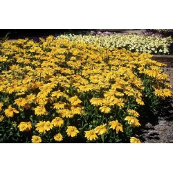 Seminte Rudbeckia hirta Prairie Sun seminte invelite
