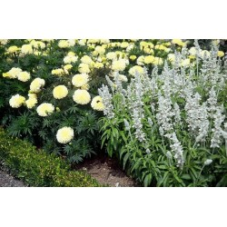 Seminte Salvia farinacea Cirrus