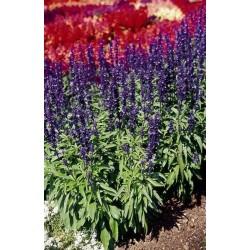 Seminte Salvia farinacea Midi