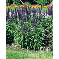 Seminte Salvia farinacea Rhea