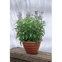 Seminte Salvia farinacea Strata