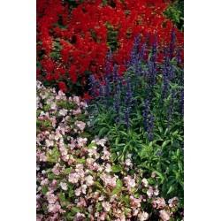 Seminte Salvia farinacea Victoria Blue