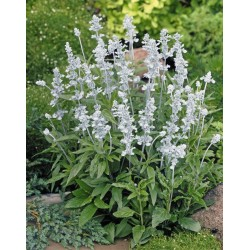 Seminte Salvia farinacea Evolution White
