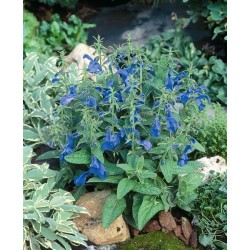 Seminte Salvia patens Patio Deep Blue