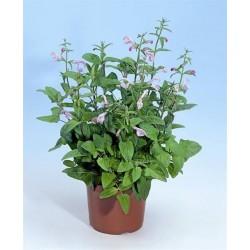 Seminte Salvia patens Patio Pink