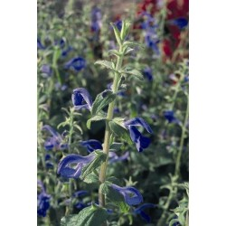 Seminte Salvia patens Blue Angel