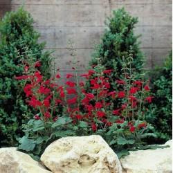 Seminte Salvia roemeriana Hot Trumpets