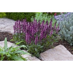 Seminte Salvia nemorosa New Dimension Rose seminte invelite