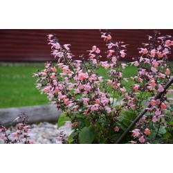 Seminte Salvia coccinea Summer Jewel Pink