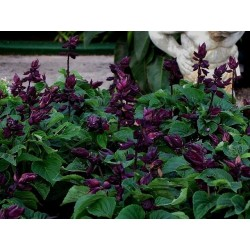 Seminte Salvia splendens Lighthouse Purple