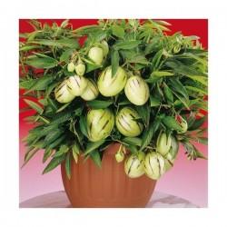 Seminte Solanum muricatum Pepino