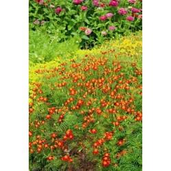 Seminte Tagetes signata pumila Red Carpet