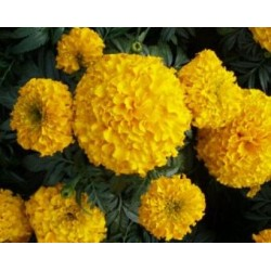 Seminte Tagetes erecta Imperiale Gold